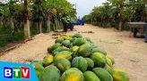 Nông vụ Bình Thuận | 25.12.2020