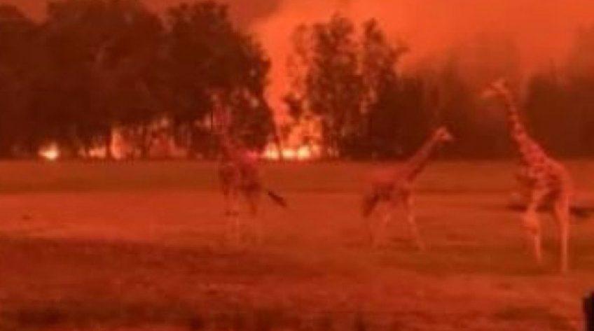 Dẫn hổ, đười ươi về nhà chăm sóc vì sợ cháy rừng